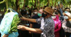 Dua Menteri Kabinet Indonesia Maju Kunjungi Kabupaten Tanggamus, Tinjau Sentra Budidaya Pisang Mas